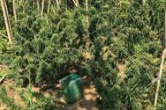 Δυτ. Ελλάδα - Εντοπίστηκε φυτεία κάνναβης σε περιοχή της Γαστούνης
