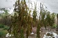 Δυτική Ελλάδα - 48χρονος καλλιεργούσε κάνναβη σε περιφραγμένο καλαμιώνα (φωτο)