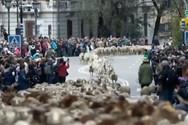 Χιλιάδες πρόβατα έκαναν πορεία στο κέντρο της Μαδρίτης (video)
