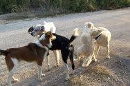 Πάτρα: Αθώος ο δήμος για τις επιθέσεις αδέσποτων σκύλων σε πολίτες