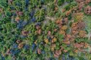 Το φλοιοφάγο έντομο του Σέιχ Σου απειλεί λόφο με κέδρους