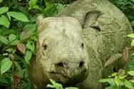 Πέθανε από καρκίνο ο τελευταίος θηλυκός Ρινόκερος της Σουμάτρας