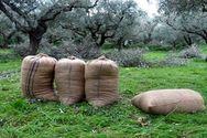 Αχαΐα: Έκλεψαν ένα τόνο ελιές