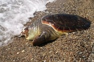Δυτική Αχαΐα - Νεκρή θαλάσσια χελώνα στην παραλία της Λακκόπετρας