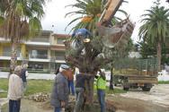 Αχαΐα - Δεκάδες αιωνόβια ελαιόδεντρα περιμένουν την σειρά τους για να μεταφυτευτούν