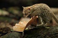 Κινδυνεύει με εξαφάνιση ο μικρότερος αγριόγατος του κόσμου