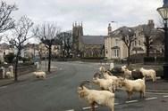 Κατσίκες κάνουν βόλτα στους δρόμους πόλης - φάντασμα στην Ουαλία