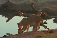 Όταν ένα λιονταράκι δεν ακούει τη μαμά του (video)