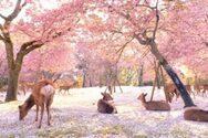 Ελάφια απολαμβάνουν την άνοιξη στο ανθισμένο πάρκο Νάρα