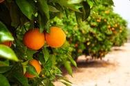 Αχαΐα: Πήραν τα πάνω τους τα πορτοκάλια και τα λεμόνια - Αύξηση των εξαγωγών
