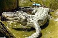 Πέθανε ο θρυλικός αλιγάτορας Σάτουρν που είχε επιβιώσει στο Β' Παγκόσμιο Πόλεμο