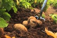 Στο πλευρό των παραγωγών πατάτας οι βουλευτές Αναγνωστοπούλου, Μάρκου και Καλαματιανός