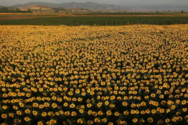 Ηλίανθος... Ο ελληνικός, εκπληκτικά όμορφος, κίτρινος χρυσός της βιοκίνησης (video)
