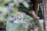 Ελβετία: Φύλακας ζωολογικού κήπου τραυματίστηκε θανάσιμα από τίγρη