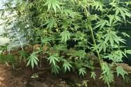 Κατασχέθηκαν δενδρύλλια κάνναβης στην Ηλεία