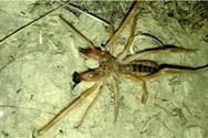 Camel Spider: Οι τρομακτικές αράχνες που εμφανίστηκαν και στην Ελλάδα