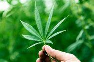 Καλαμάτα: Καλλιεργούσε 29 χασισόδεντρα στο σπίτι και το κτήμα του