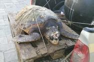 Δυτική Αχαΐα - Η θαλάσσια χελώνα που μεταφέρθηκε με λεωφορείο του ΚΤΕΛ για να σωθεί
