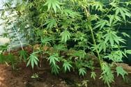 Ρόδος: Καλλιεργούσε χασισόδεντρα στην ταράτσα του