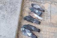 Πρωινό Κυριακής με δεκάδες νεκρά περιστέρια σε δρόμο της Πάτρας