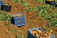 Δυτική Αχαΐα: Στα 500 ευρώ το στρέμμα η ζημιά από τον κορωνοϊό στους πατατοπαραγωγούς