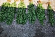 Συνελήφθη άνδρας στο Μεσολόγγι για καλλιέργεια και κατοχή ναρκωτικών