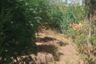 Εντοπίστηκε οργανωμένη φυτεία δενδρυλλίων κάνναβης στην Ηλεία (φωτο)