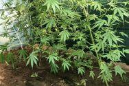 Κως - Εντοπίστηκε φυτεία με 72 δίμετρα χασισόδεντρα