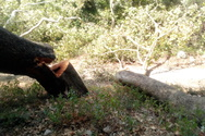Αχαΐα: Ασυνείδητοι έκοψαν αιωνόβια πλατάνια στο Άνω Καστρίτσι (φωτο)