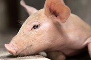 Δυτική Ελλάδα - 60χρονος δέχθηκε επίθεση από το γουρούνι του