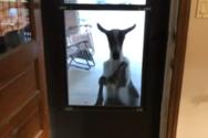 Όταν η κατσίκα του γείτονα… σου χτυπάει την πόρτα (video)