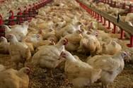 Κορωνοϊός - Πεκίνο: Απαγόρευση εισαγωγών από αμερικανική πτηνοτροφική μονάδα