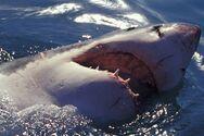 Όταν ο κυνηγός γίνεται θήραμα: Φάλαινες κατασπαράζουν λευκούς καρχαρίες (video)