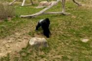 Γορίλας παίρνει την τρομάρα της ζωής του από μια χήνα (video)