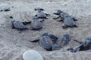 Δυτική Ελλάδα: Ο συνολικός αριθμός των φωλιών caretta - caretta στις παραλίες της περιοχής