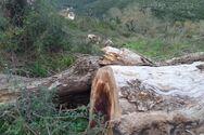 Ήπειρος - Ένας μύκητας θερίζει αιωνόβια πλατάνια