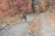 Άνδρας κατέγραψε την καταδίωξή του από cougar (video)