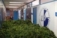 Εξαρθρώθηκε εγκληματική οργάνωση καλλιέργειας κάνναβης στην Αττική με την συνδρομή της Ασφάλειας Πατρών (φωτο)