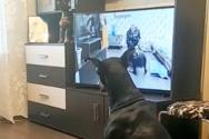 Σκύλος ακολουθεί πρόγραμμα γυμναστικής που βλέπει στην τηλεόραση
