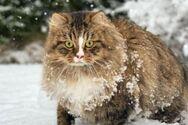 Γάτες Σιβηρίας: Μια από τις πιο εντυπωσιακές ράτσες του κόσμου (φωτο)