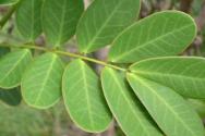 Το βότανο που καταπολεμά την δυσκοιλιότητα