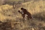 Άγριος καβγάς ανάμεσα σε δύο τίγρεις (video)