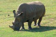 H τεχνητή γονιμοποίηση ύστατη ευκαιρία για τον βόρειο λευκό ρινόκερο
