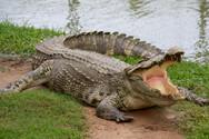 Αυστραλία: Κάνουν ευθανασία στους κροκόδειλους