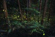 Ιαπωνία: Ένα «μαγεμένο δάσος» γεμάτο πυγολαμπίδες (φωτο)
