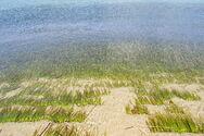 Ωκεάνια Ποσειδωνία - Το «αιώνιο» θαλάσσιο φυτό που παγιδεύει διοξείδιο του άνθρακα