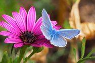 ΗΠΑ - Οι πεταλούδες θα είναι σύντομα είδος υπό εξαφάνιση