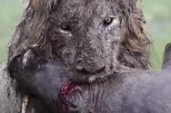 Λιοντάρι σκάβει και βρίσκει μες στις λάσπες το επόμενό του θήραμα (video)