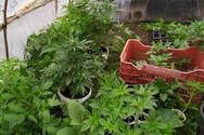 Ηλεία: Καλλιεργούσε πενήντα δενδρύλλια κάνναβης σε θερμοκήπιο στην αυλή του(φωτο)