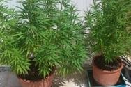Συνελήφθη ακόμα ένας καλλιεργητής ναρκωτικών στην Ηλεία